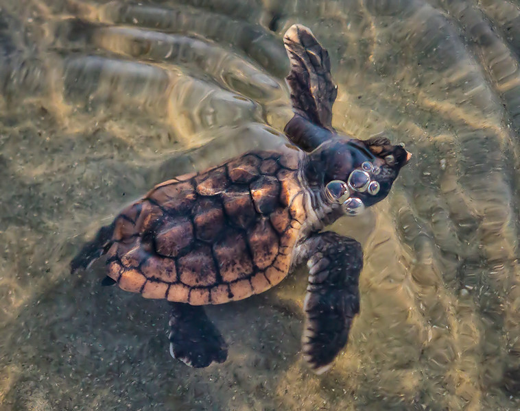 """Bubble Boy""<br /> Loggerhead Sea Turtle hatchling - crawling from the nest to the ocean<br /> and headed to the Sargasso Sea<br /> Harbor Island, SC"