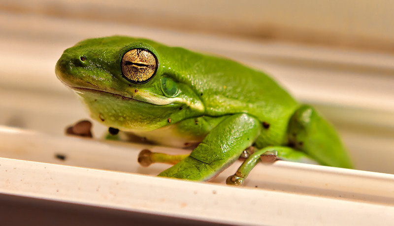 """""""Frogmore the Tree Frog""""<br /> Frogmore, SC"""