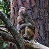 """I hear a plane flying over the Island""<br /> Rhesus Monkey and her baby<br /> Monkey Island, SC"
