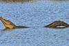"""Loch Ness Gator?""<br /> Alligator<br /> Donnelley Wildlife Management Area<br /> Green Pond, SC"