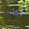 """Stealth""<br /> Alligator<br /> Donnelley WIldlife Management Area<br /> Green Pond, SC"