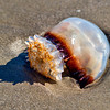 Jellyfish<br /> Hunting Island State Park, SC