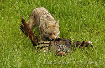 Coyote killing a wild turkey Cades Cove Great Smoky Mountains