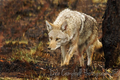 Wild Coyote Cades Cove Great Smoky Mountains