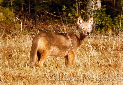 Coyote Cades Cove GSMNP