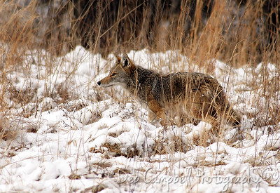 Coyote Cades Cove  Great Smoky Mountains