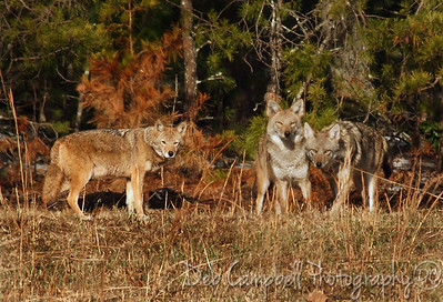 Three Amigos Pack of Coyotes Cades Cove GSMNP