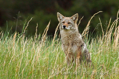 A lone coyote sits and watches the cars go by at dusk. A lone coyote sits and watches the cars go by at dusk.
