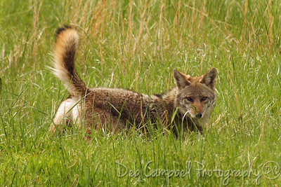 Coyote hunting for voles in Cades Cove Great Smoky Mountains