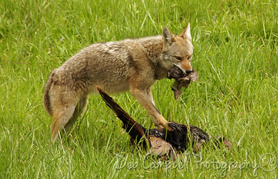 Coyote with his wild turkey kill Cades Cove Great Smoky Mountains