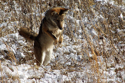 Pouncing Coyote Cades Cove Great Smoky Mountains