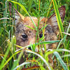 Coyote Pup Hiding in Grass