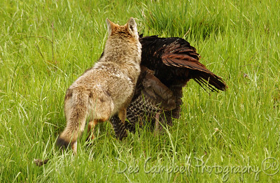 Coyote carrying off his wild turkey kill Cades Cove Great Smoky Mountains