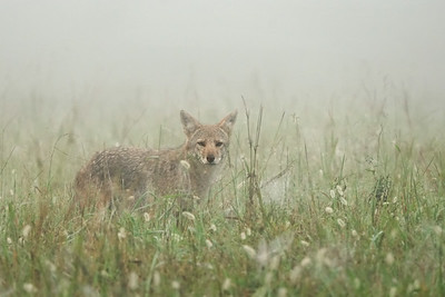 Coyote in the Fog