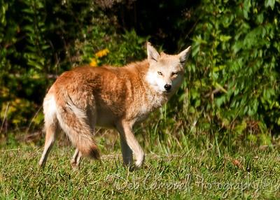 Red Coyote Pistol Creek Wetlands area Maryville, Tn