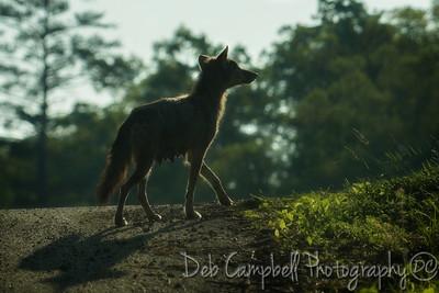 Coyote Momma
