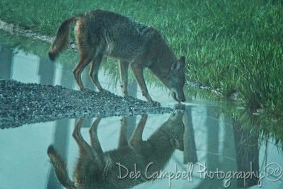 Coyote Reflections