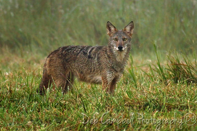 Eastern Coyote Cades Cove Great Smoky Mountains
