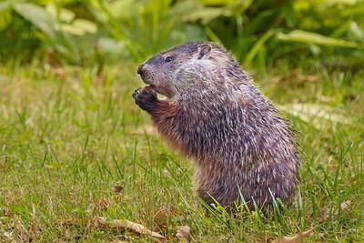 Ground Hog eating Persimmons