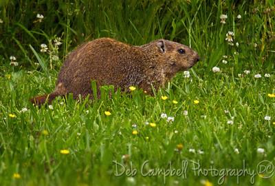Ground Hog (Marmota monax) Loudon County, Tn