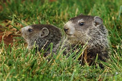 Groundhog babies Blount Co, Tn