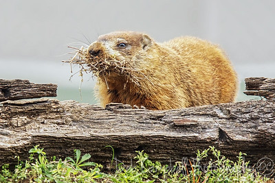 Ground Hog with nesting material