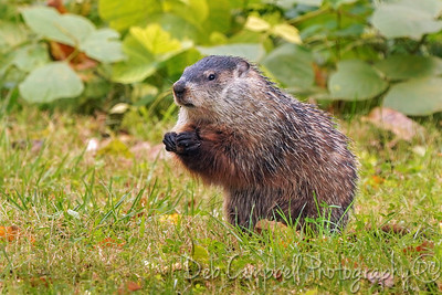 Ground Hog eating Persimmons