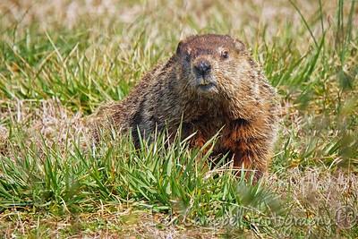 Portrait of a Ground Hog