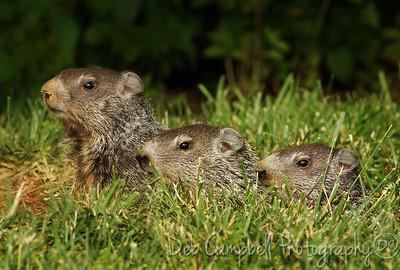Groundhog Triplet babies Blount Co, Tn