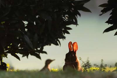 Brown Rabbit at Sunrise