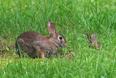 Eastern Cottontail and baby