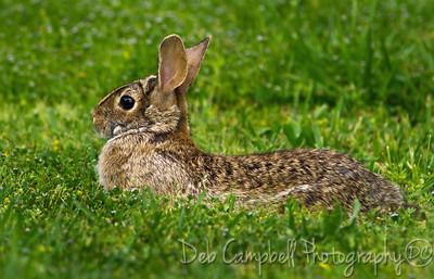 A wild brown rabbit.