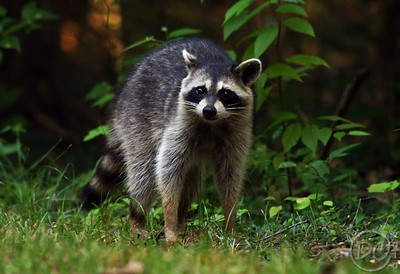 Wild Raccon1