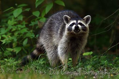 Wild Raccon4