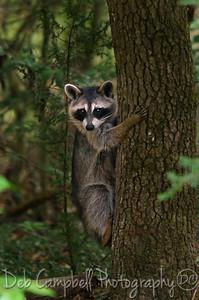 Wild Raccon2
