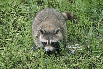 Raccoon Den