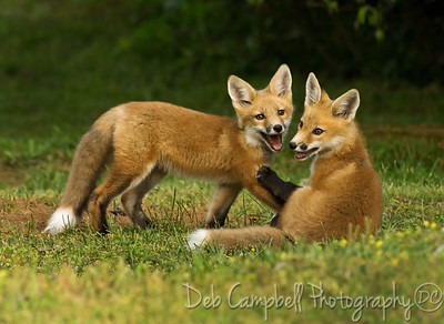 **Favorite because I feel very fortunate to have learned the location of a Fox den and had the opportunity to photograph a family on several occasions.   Red Fox Kits  2013-Wilderness Wildlife Week Photo Contest-3rd place.
