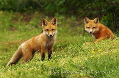 Wild Red Fox Kits