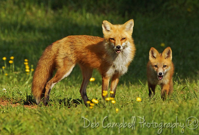 Wild Red Fox Vixen with Kit
