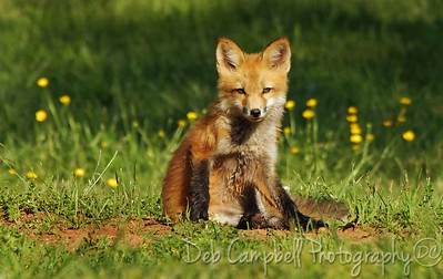 Wild Red Fox Kit