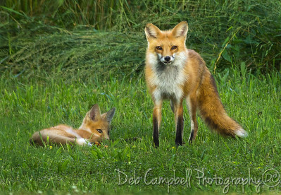 Red Fox Vixen with her Kit