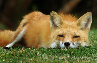 Red Fox Vixen keeping an ever watchful eye on me.