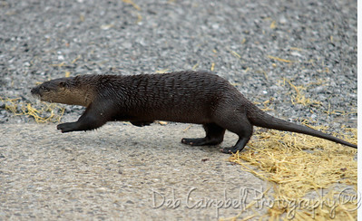 River otter crossing Sparks Lane Cades Cove Great Smoky Mountains