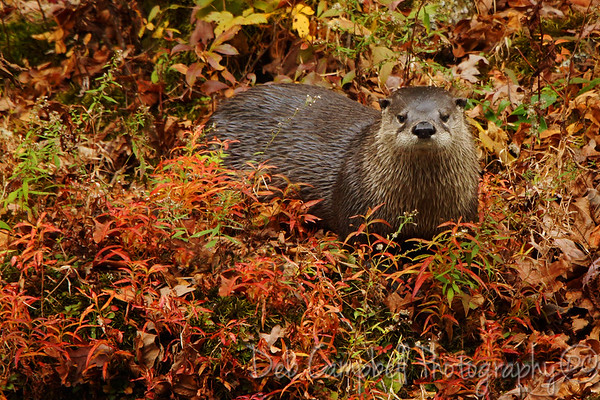 River Otter and Beaver