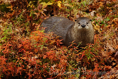 River Otter in Fall color Little River Great Smoky Mountains