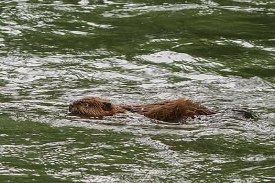 Juvenile Beaver
