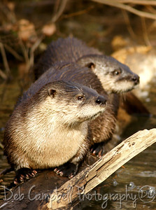 River Otters Abrams Creek Cades Cove Great Smoky Mountains