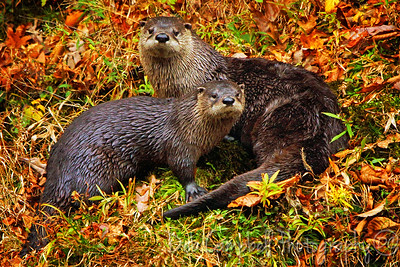 A pair of River Otters Little River Great Smoky Mountains