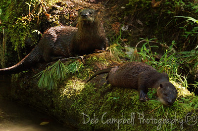 River Otter Mom and Kit Cades Cove Great Smoky Mountains