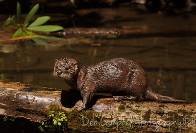 River Otter Kit Cades Cove Great Smoky Mountains